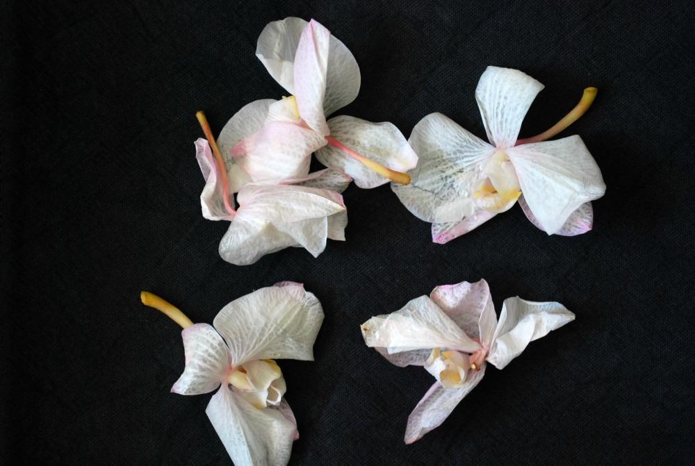 fallen orchid blossoms