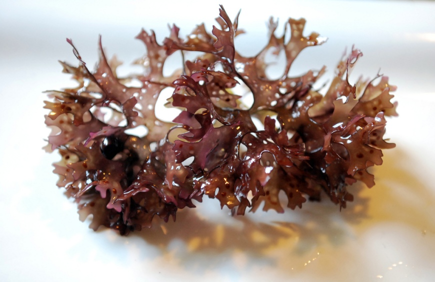 little brown seaweed